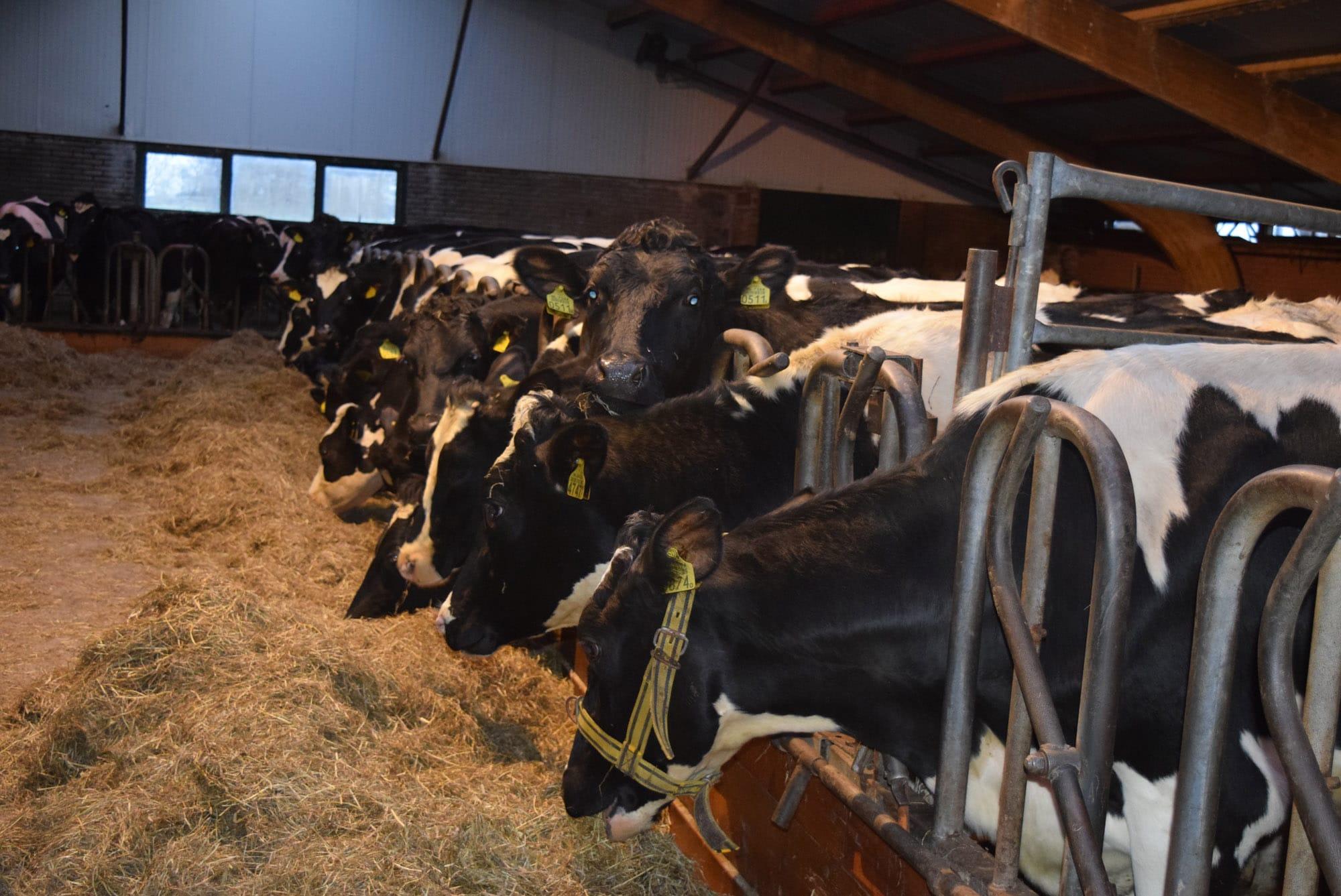 A2 melk koe in de stal